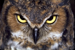 Great-Horned-Owl-flat-best-