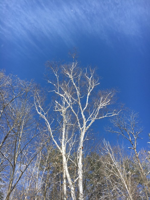 1 blue sky with birch.jpg